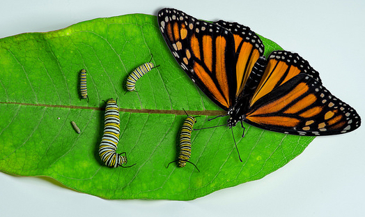 Caterpillars and butterfly on a leaf