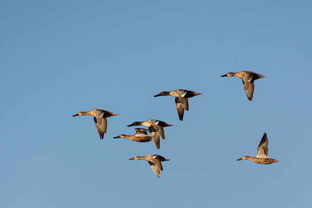 Flock of Ducks Flying Overhead