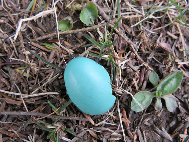 Blue egg shell on the ground